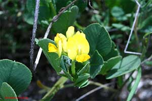 Medicago suffruticosa