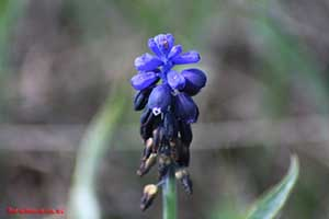 muscari_neglectum_flor.jpg